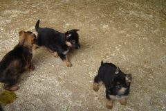 Mable's GSD Puppies