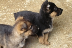 Mable's puppies 01
