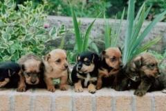 Winniefred's litter of Fun Terrier pups